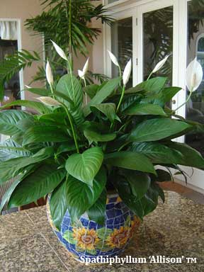 Peace Lily Care - Spathiphyllum Plant [20 QUESTIONS ANSWERED] on peace lily problems white residue, peace lily plant brown leaves, jade house plant problems, begonia house plant problems, peace lily indoor plant, gardenia house plant problems, peace lily plant care of,
