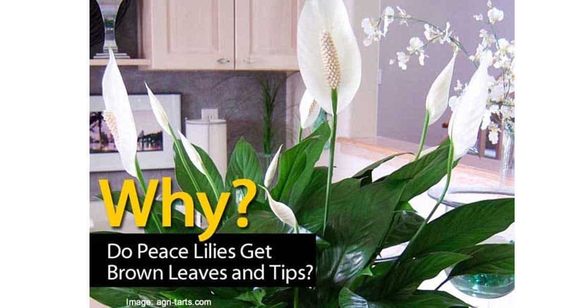 brown tips on peace lily is a common issue with homeowners