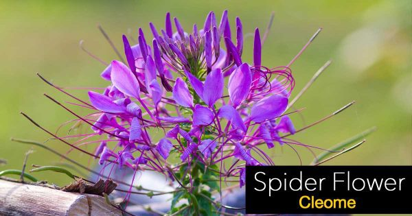 flowers of the Spider Flower - Cleome