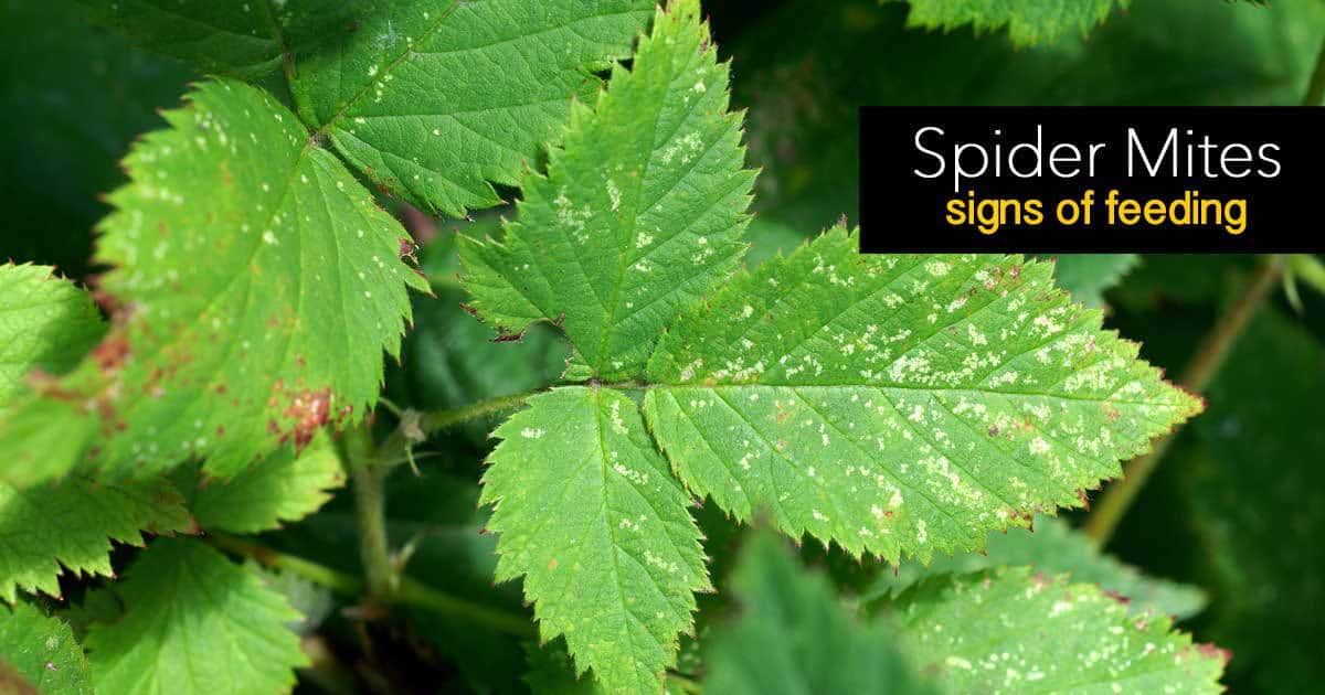 spider mites signs of feeding