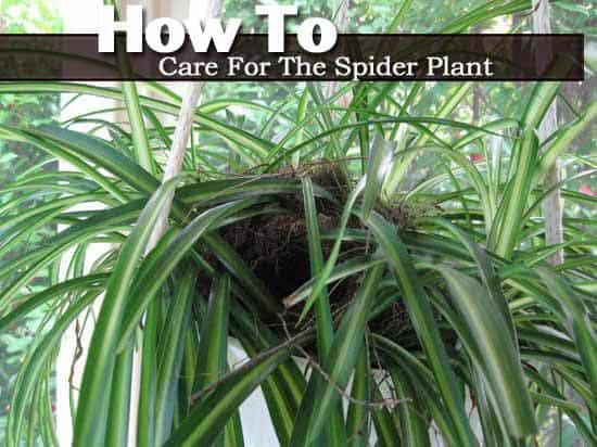 spider-plant-022814