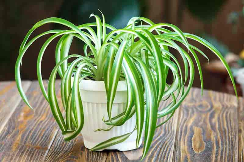 spider plant on table