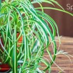 SPIDER PLANT: How To Care For The Chlorophytum Comosum