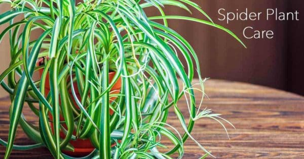 Spider plant growing in a pot