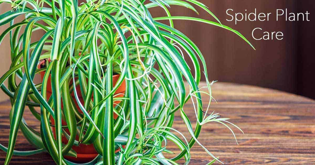 spider plant care is easy with the forgiving Chlorophytum comosum