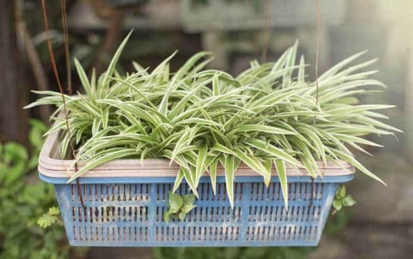 "Striking spider plant variety - Chlorophytum comosum ""Variegatum"" white margins or edges and dark green leaves"