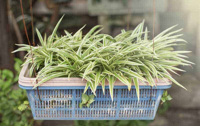 Spider Plant How To Care For The Chlorophytum Comosum