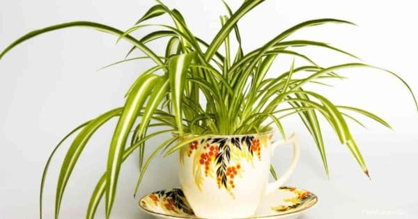 spider plant growing in a coffee cup