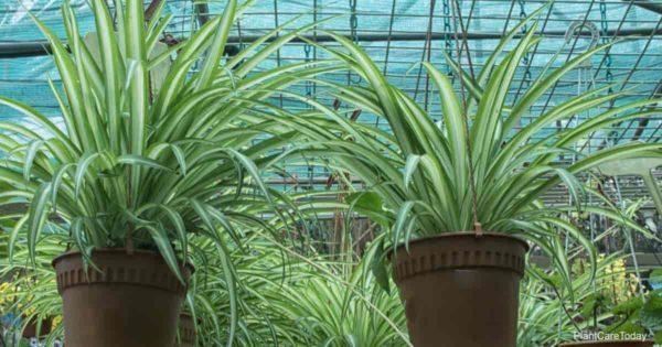 spider plants (Chlorophytum comosum) growing in hanging pots