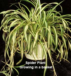 spider-plants