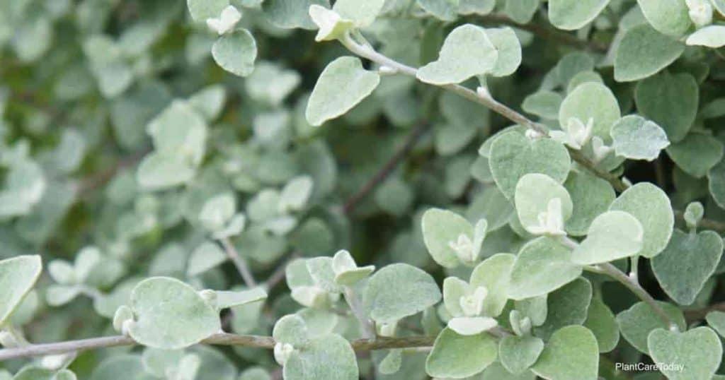 Helichrysum petiolatum or licorice plant