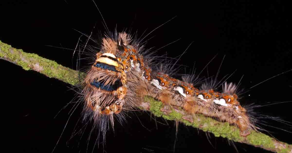 spinoza insect spray controls caterpillar garden pest like this