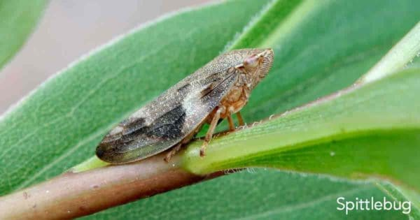 Close up of the Spittlebug