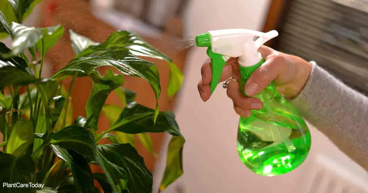 Spraying leaves on a Healthy houseplant
