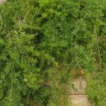 How To Care For Asparagus Sprengeri Fern