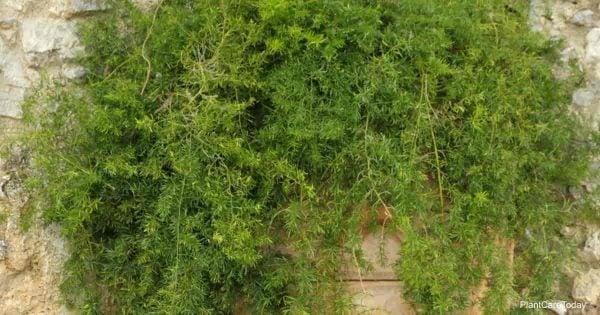 Sprengeri Fern Asparagus