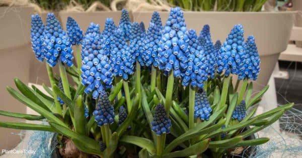 large group of spring flowering crocus bulbs