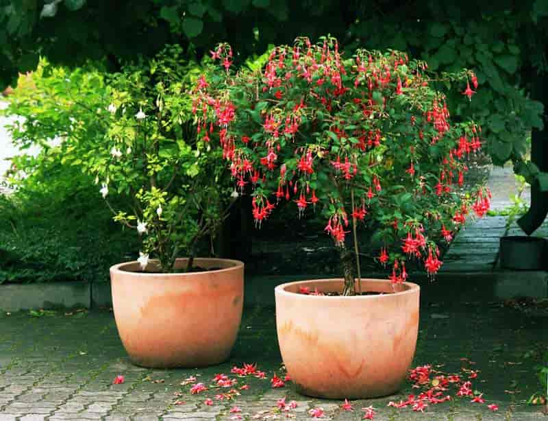 Fuchsia tree on patio in flower