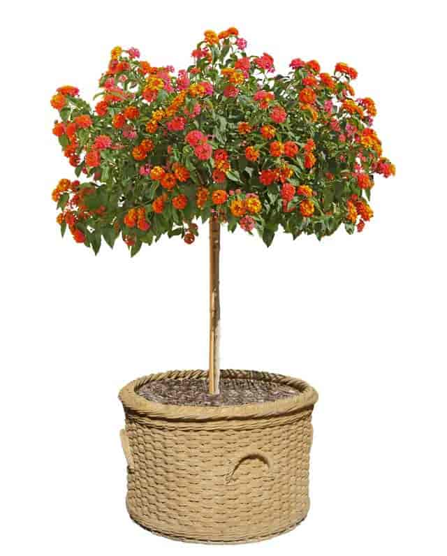 Blooming lantana trained into a tree form, perfect patio, deck addition