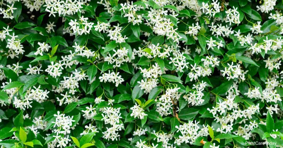 Flowering star jasmine vine