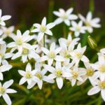 Flowering Ornithogalum - Star of Bethlehem