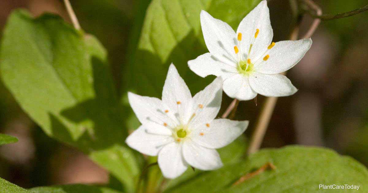 Flowering Starflower - Trientalis borealis