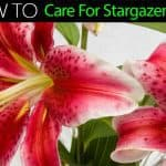 Stargazer Lily: How To Care For Stargazer Lilies