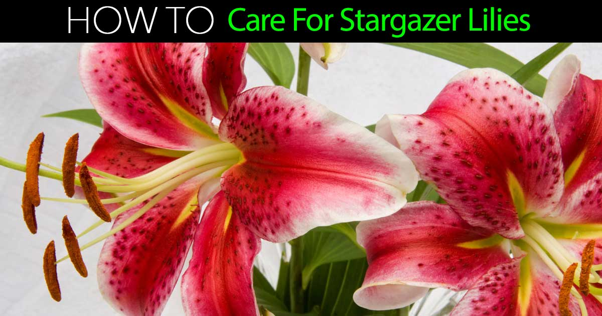stargazer lily how to care for stargazer lilies, Beautiful flower