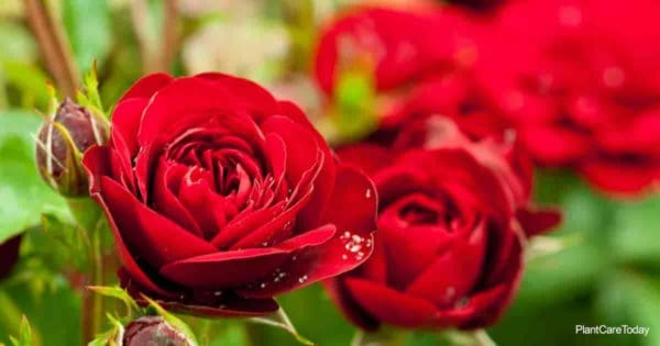 Beautiful red rose bloom up close