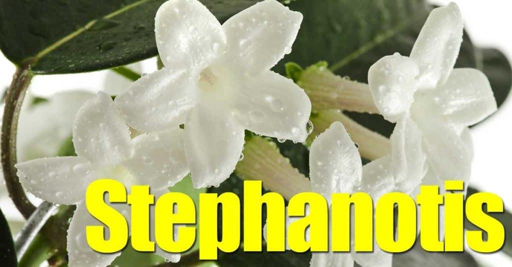 White Bridal veil flower (Stephanotis) up close