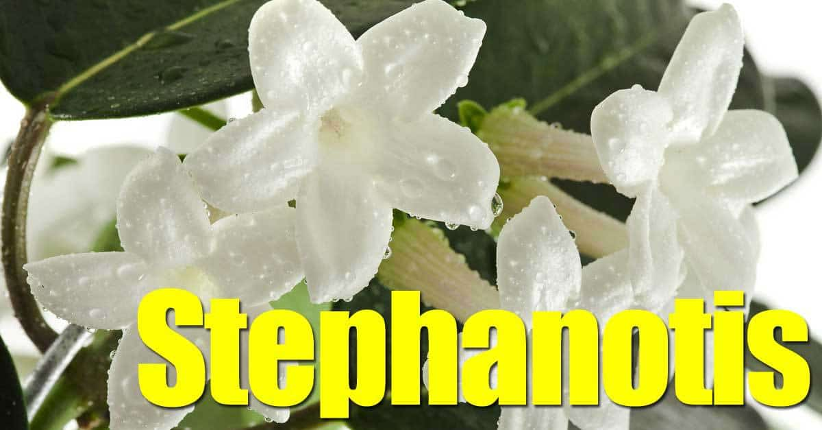 waxy, fragrant Bridal veil vine plant Stephanotis