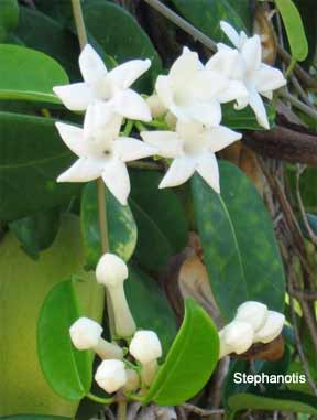Stephanotis trellis plant fragrant tubular white flower clusters stephanotis vine mightylinksfo