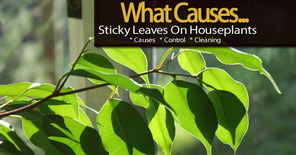many times you find sticky leaves houseplants like the Ficus.