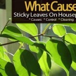 Sticky Leaves On Houseplants – What Causes It, Help And Treatment