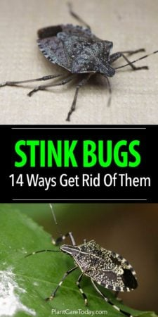 getting id of stink bugs