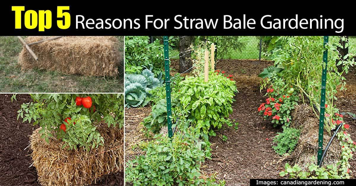 5 top reasons for a straw bale garden for Growing gardens