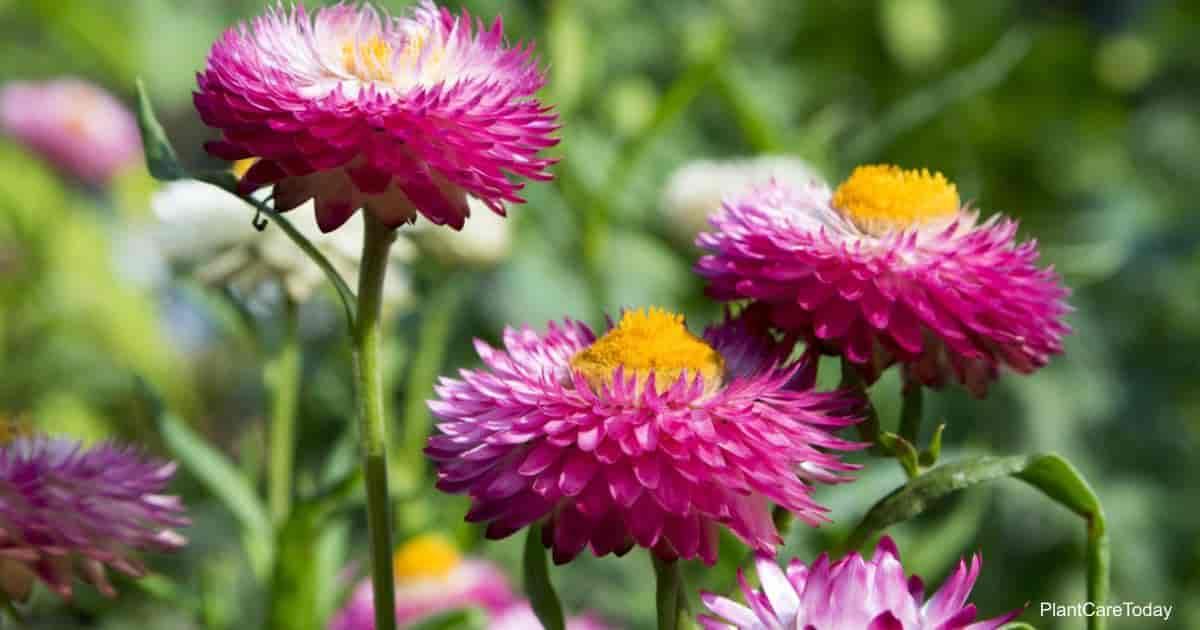 Flowering Strawflower Everlasting Flower