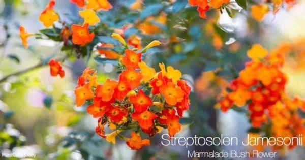 Blooming marmalade bush (Streptosolen jamesonii)