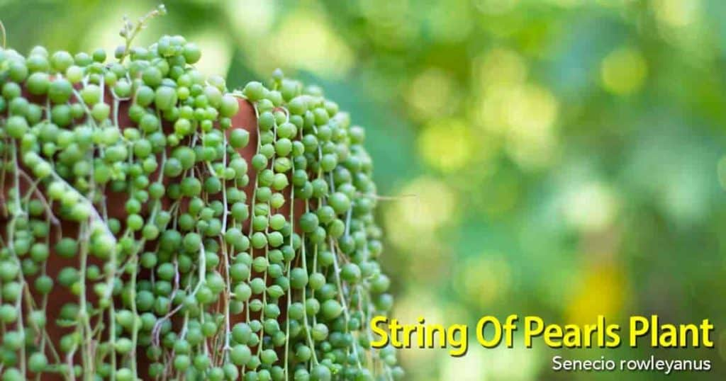 String of Pearls Plant - Senecio Rowleyanus - Growing as Hanging basket