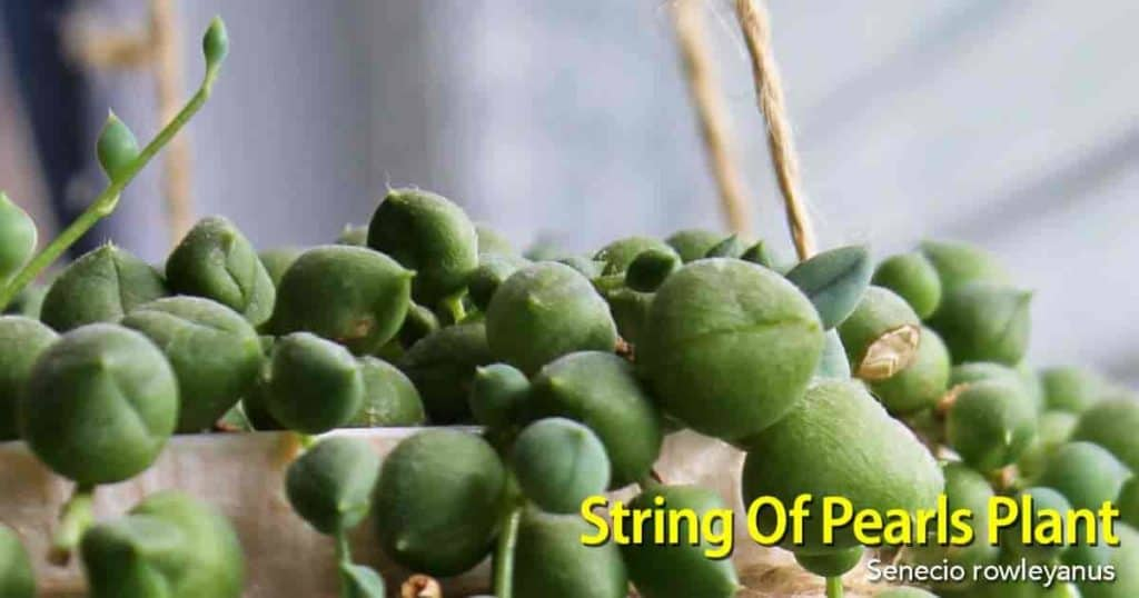 """String of pearls plant close up of the """"leaves"""""""
