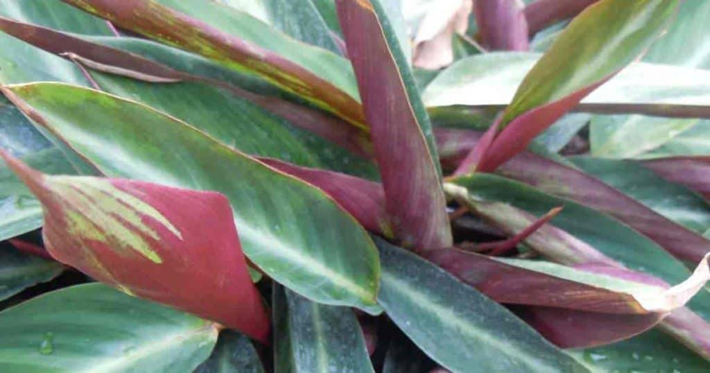 Stromanthe sanguine growing in the landscape