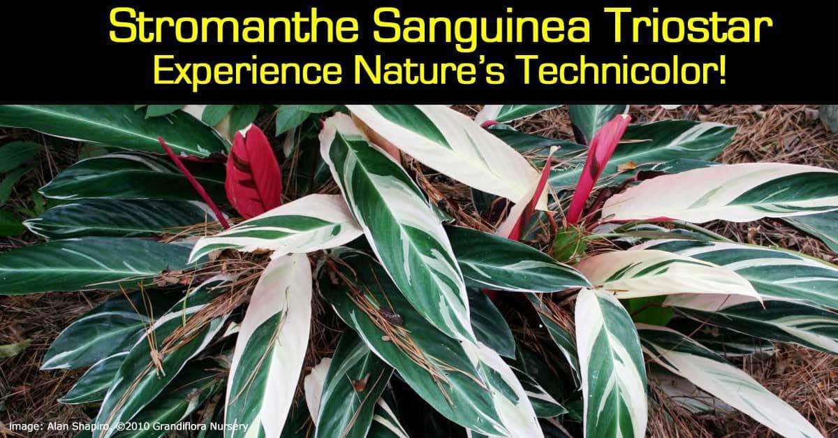 stromanthe-sanguinea-triostar-093014