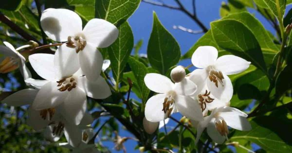 Fragrant blooms of Japanese Snowbell - Styrax Japonicus