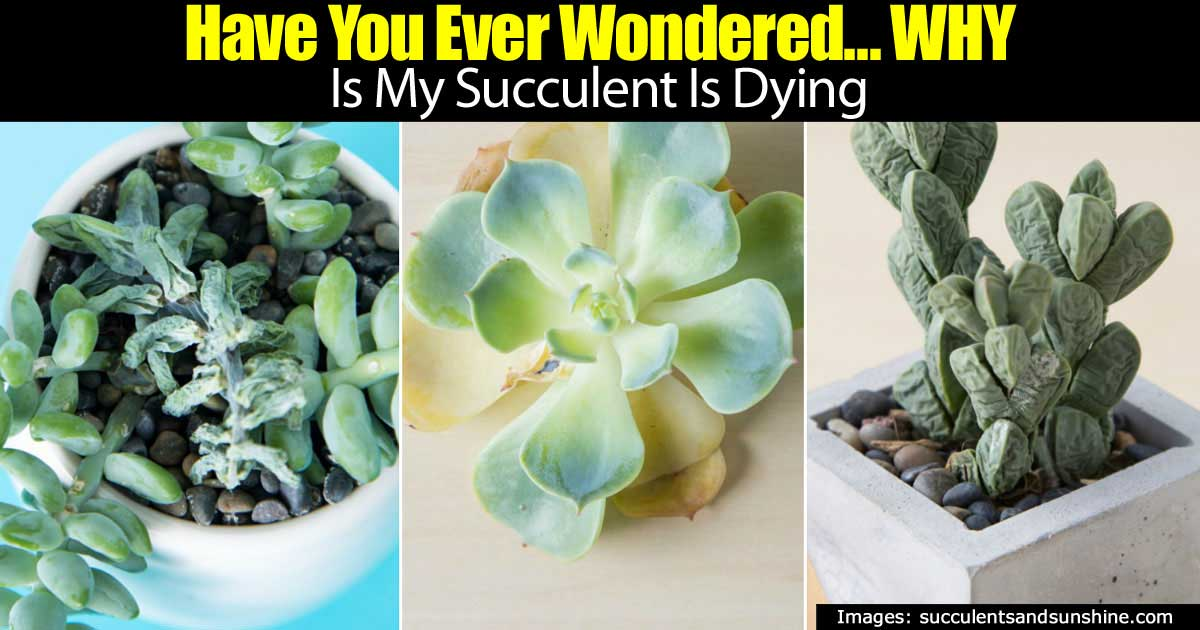 succulent-dying-93020151696