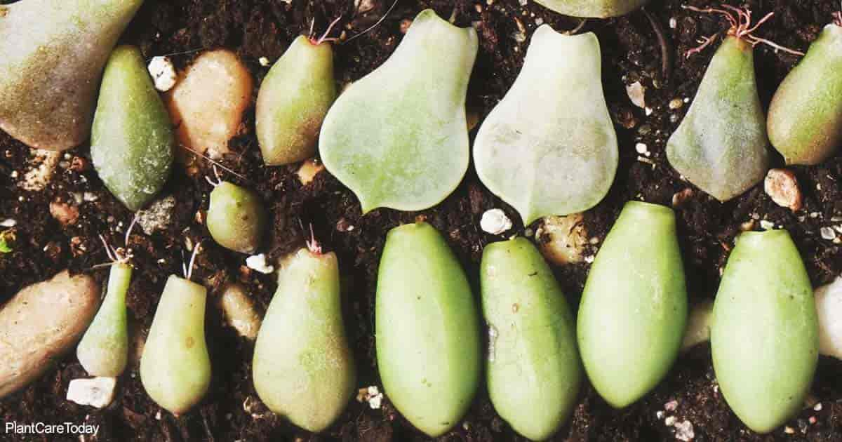 Succulent leaves falling off plants give the opportunity to propagate more plants
