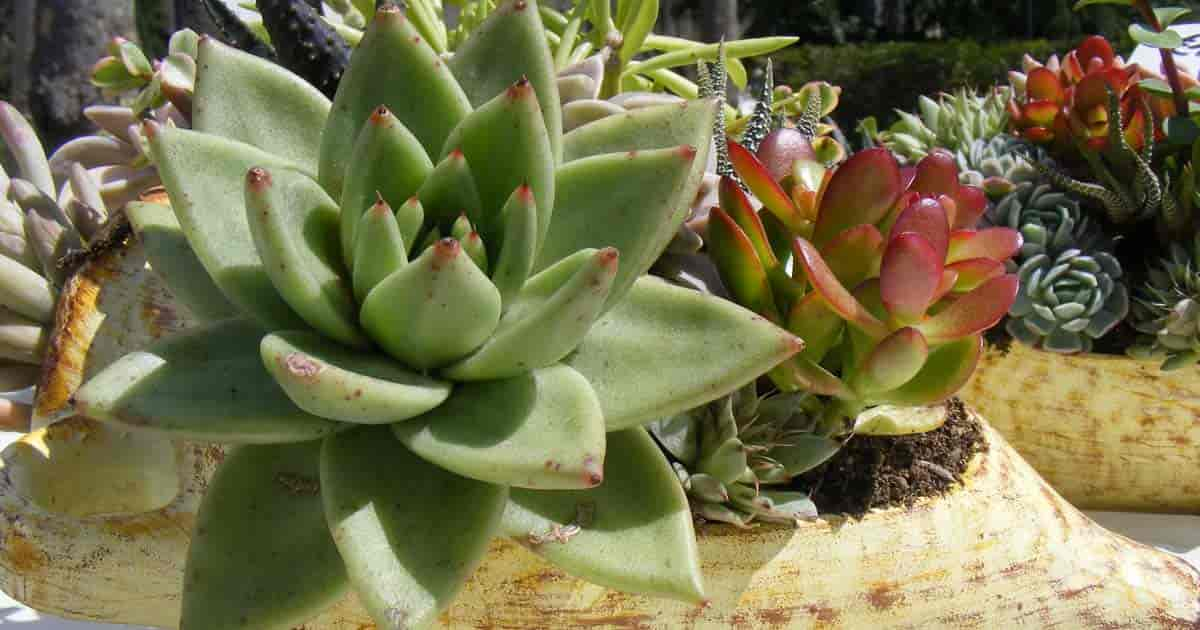 Overwatering causes Succulent root rot