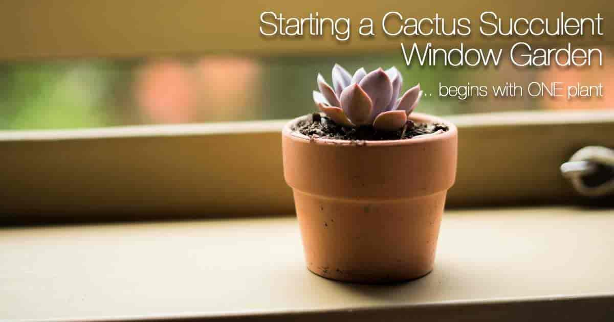 single echeveria in clay pot begins the window garden