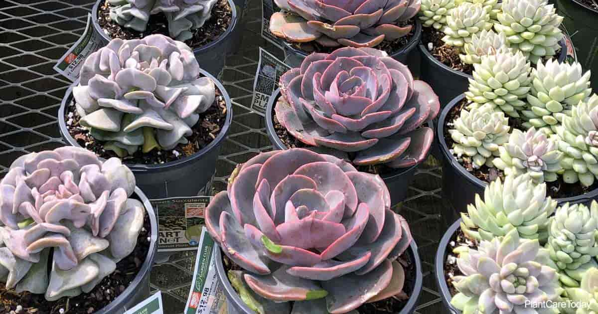 Succulents like these Echeverias are not poisonous to cats