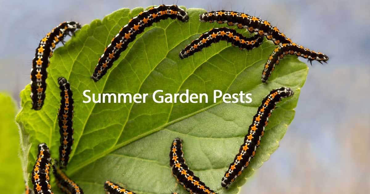 summer garden pests