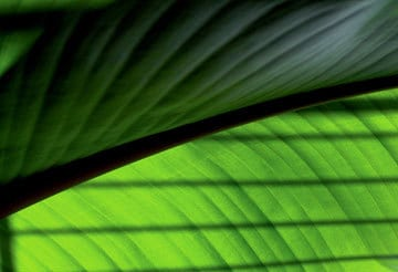 sunny-big-leaf